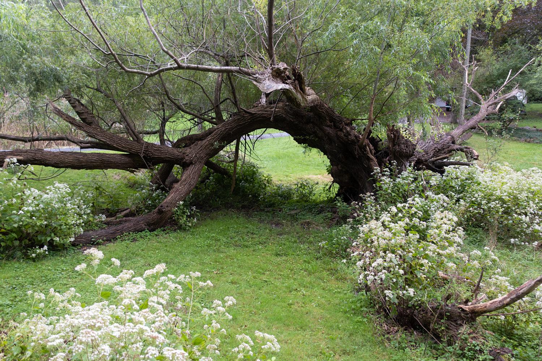 Fallen willow along Hoffman Road